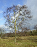 Silver Birch Tree Royalty Free Stock Images