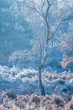 Cold Silver Birch tree Stock Photos