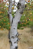 Silver Birch Tree. Detail of the trunk of a silver birch tree Royalty Free Stock Photography