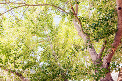 Silver Birch Tree Stock Images
