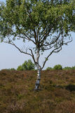 Silver Birch Tree Stock Photos