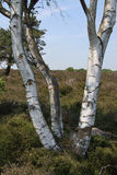 Silver Birch Tree Royalty Free Stock Image