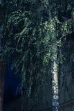 Silver birch tree at night royalty free stock image