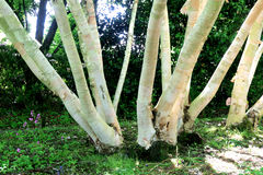 Silver Birch. Silver Birch tree, resplendent in it's growth with multiple trunks forming a natural pattern Royalty Free Stock Images
