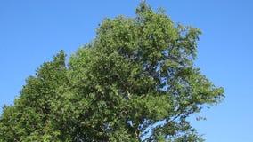 Silver Birch tree swaying in breeze, bird song