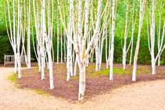Silver birch trees Stock Photography