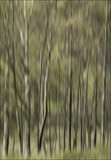 Silver birch trees Stock Photos