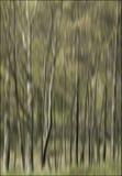 Silver birch trees Stock Photos
