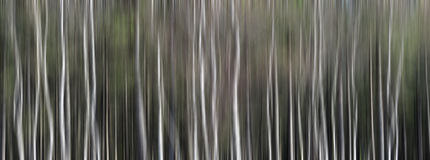 Silver Birch Trees Abstract Panorama Stock Photos