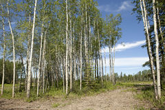 Silver birch trees in Canada Stock Image