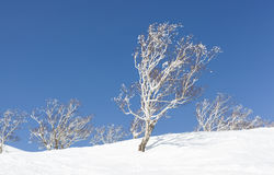 Silver Birch Trees covered in Snow Stock Photography