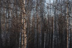 Silver birch trees in the forest in a beautiful warm sunset light. royalty free stock photos
