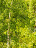 Silver birch trees in green summer forest Royalty Free Stock Image