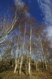 Silver Birch Trees Stock Images