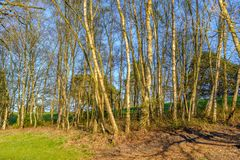 Silver birch tress in sunshine. The trunks of silver birch trees  catching the sunlight on a bright spring day Royalty Free Stock Photos