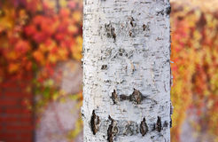 Silver birch trunk Royalty Free Stock Images