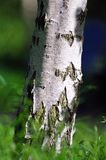 Silver birch trunk Royalty Free Stock Photo