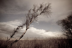 Silver birch in winter Stock Photography
