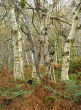 Silver Birch woodland. In autumn - Betula pendula Royalty Free Stock Images