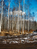 Silver birches. Birch grove in the spring Royalty Free Stock Images