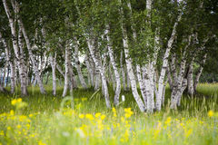 Silver birches and flowers Stock Image