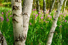 The silver birches in the meadows Royalty Free Stock Photography
