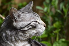 Silver & Black Bengal Cat - Side View Royalty Free Stock Images