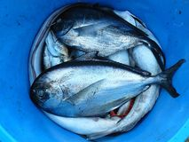 Silver and Black Fishes Inside Blue Plastic Container royalty free stock image