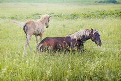 Silver-black horse with her foal Stock Images