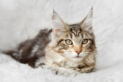 Silver black maine coon kitten posing on background fur Royalty Free Stock Images