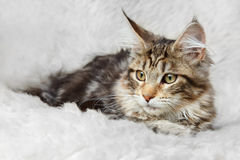 Silver black maine coon kitten posing on background fur Stock Image