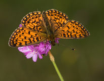 Silver-bordered Fritillary sitting on a flower royalty free stock images