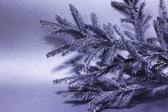 Silver branch of fir tree Stock Photo