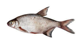 Silver bream Royalty Free Stock Images