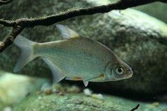 Silver bream Royalty Free Stock Photos