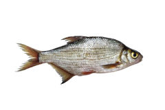 Silver bream Royalty Free Stock Image