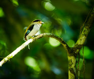 Silver-breasted Broadbill Stock Images