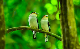 Silver-breasted Broadbill Royalty Free Stock Photography