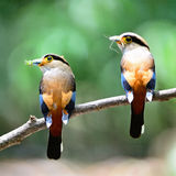 Silver-breasted Broadbill. Colorful parents of Silver-breasted Broadbill (Serilophus lunatus), male (on right hand side) and female (on left hand side), in Royalty Free Stock Photo