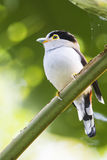 Silver-breasted broadbill. A female silver-breasted broadbill having a rest Royalty Free Stock Images