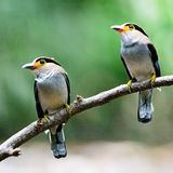 Silver-breasted Broadbill. Parents of Silver-breasted Broadbill (Serilophus lunatus), male (on right hand side) and female (on left hand side), breast profile Stock Photos