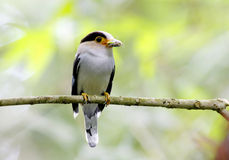 Silver breasted Broadbill Serilophus lunatus. Birds in Thailand Royalty Free Stock Photography