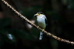 Silver breasted Broadbill Serilophus lunatus. Birds of Thailand Royalty Free Stock Image