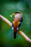 Silver-breasted Broadbill Royalty Free Stock Photos