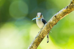 Silver-breasted Broadbill Stock Photography