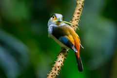 Silver-breasted broadbill Royalty Free Stock Images