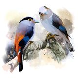 Silver-breasted broadbill Royalty Free Stock Image