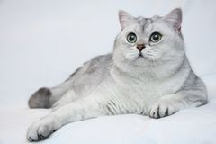 Big beautiful silvery British cat with big green eyes. Lies on a light background close-up. British shorthair male cat BRI ns 11 black silver shaded royalty free stock photo