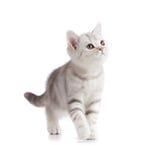 Silver british kitten studio shot on white Stock Photos
