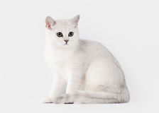 Silver british kitten on table with wooden texture Stock Image